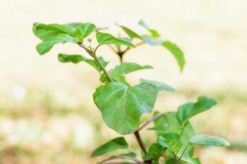 Boerhaavia diffusa - Punarnava