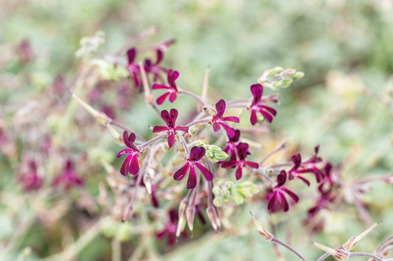 <em>Pelargonium sidoides</em> - Umckaloabo