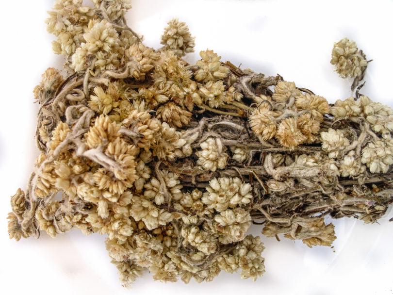 Pseudognaphalium viscosum - Gordolobo